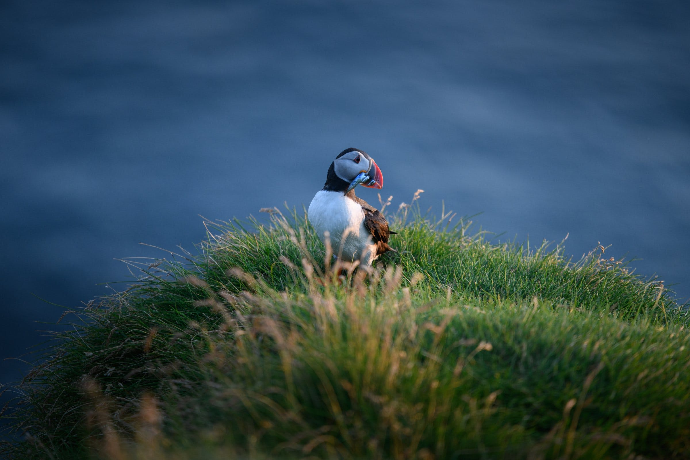 puffin with freshly caught fish ins its beak