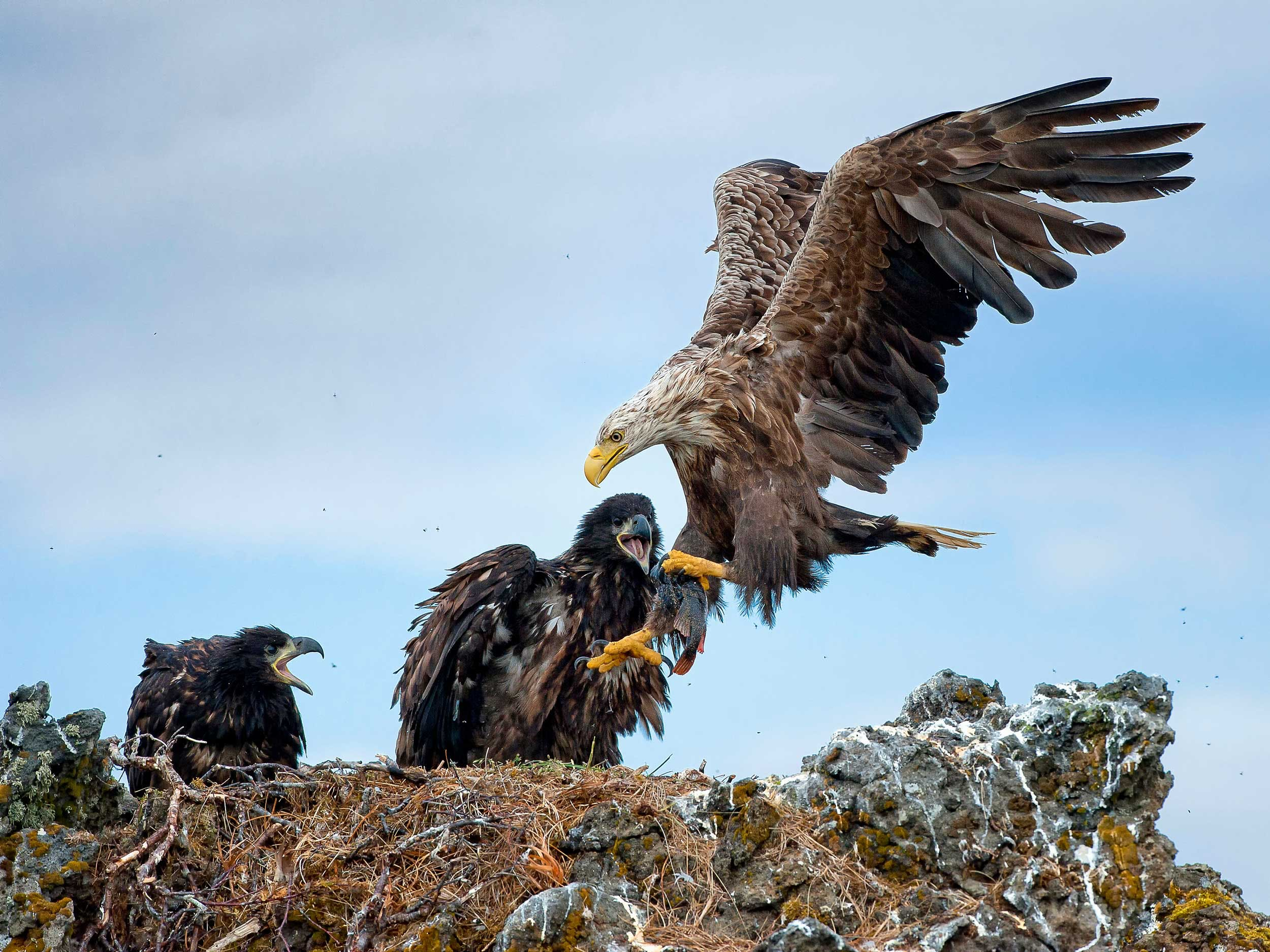 Eagles in their nest.