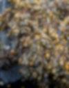 knotted kelp on rocks