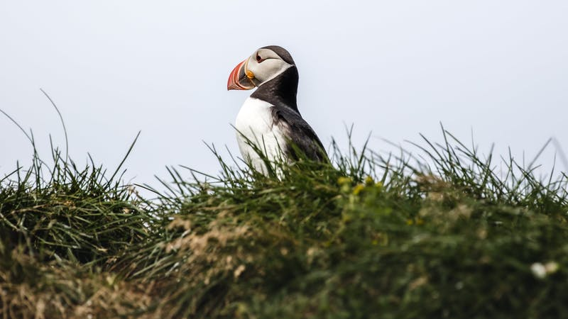 A puffin in Icelandic nature