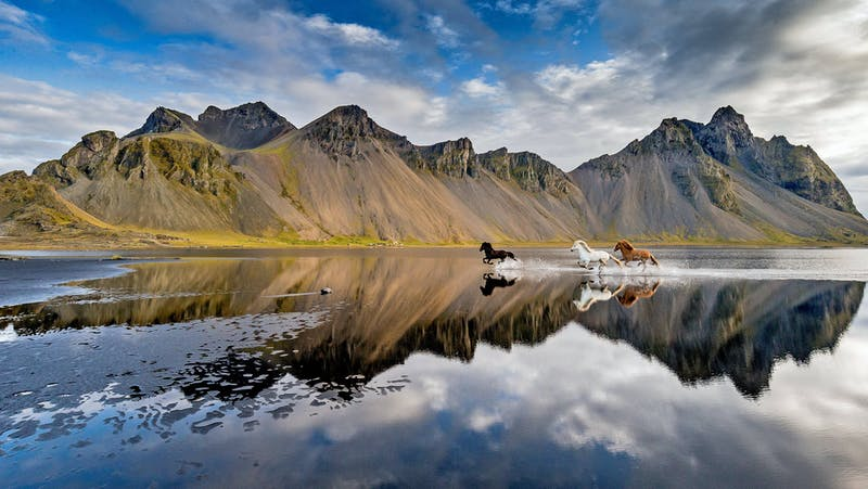 Three Icelandic horses racing with a mountain in the background