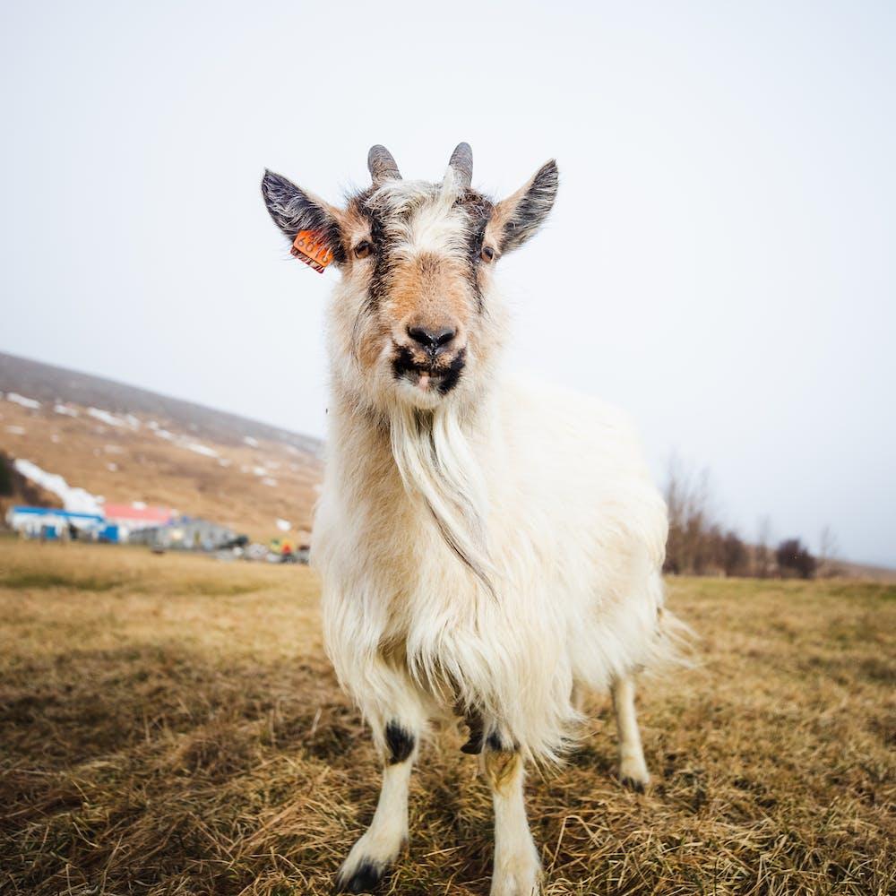 A goat at Háafell farm