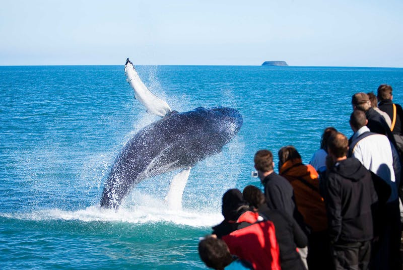 People watching a whale jump in Iceland