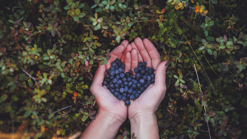 Berry picking in Iceland