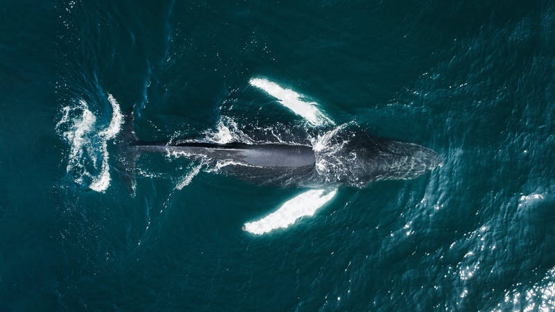 A humpback whale in Iceland
