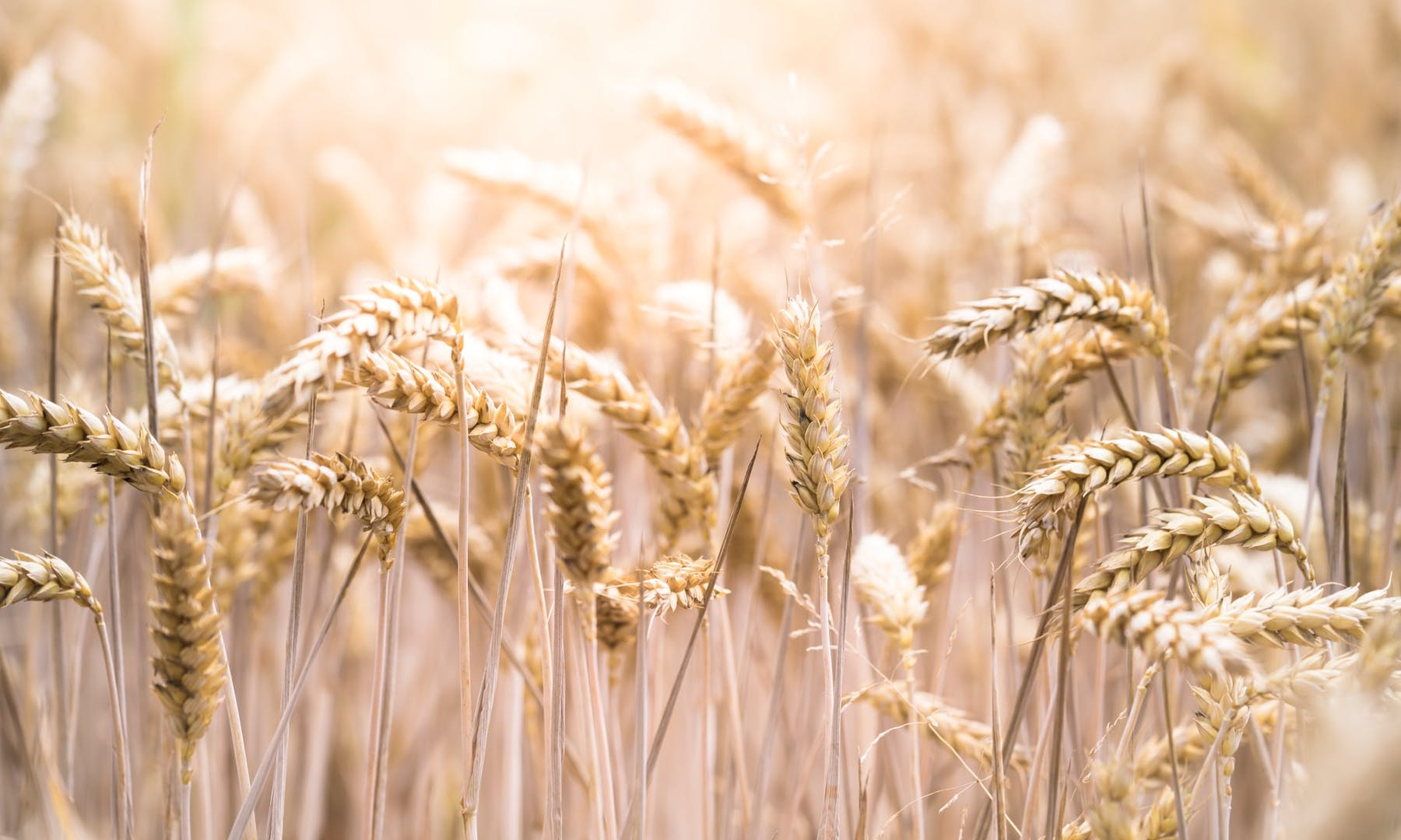 wheat, rye, barley, oats, corn, and rice