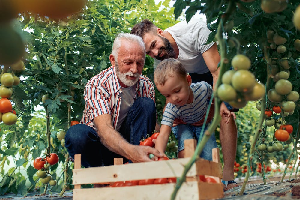 Older man helping his son and grandson pick fruit and put it in a basket