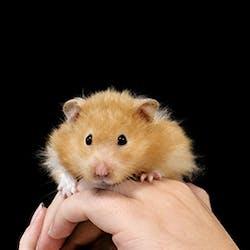 Luigi - Hamster