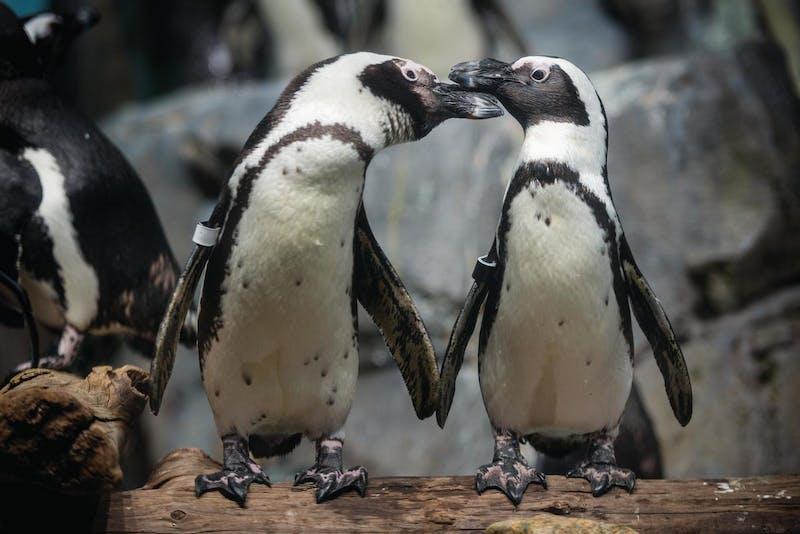 penguins exhibit at Monterey Bay Aquarium