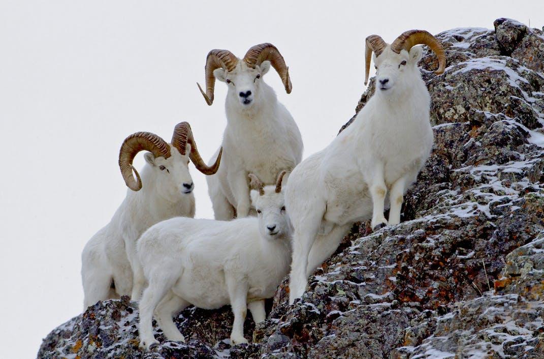 Dall Sheep near Anchorage Alaska