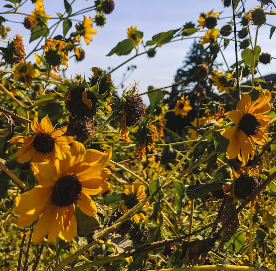 sunflowers on a trail at Oak Glen Preserve near Yucaipa
