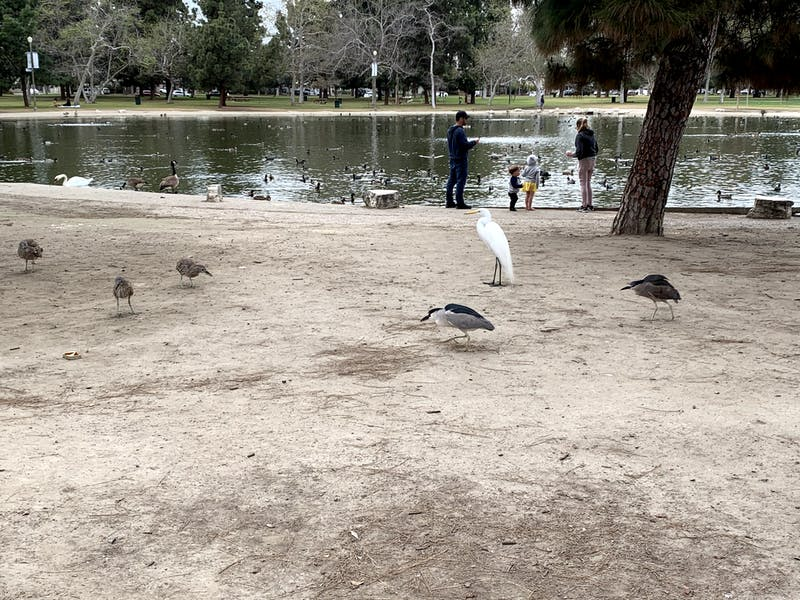 Egrets, heron and other birds beside a lake at El Dorado Regional Park in east Long Beach Los Angeles County