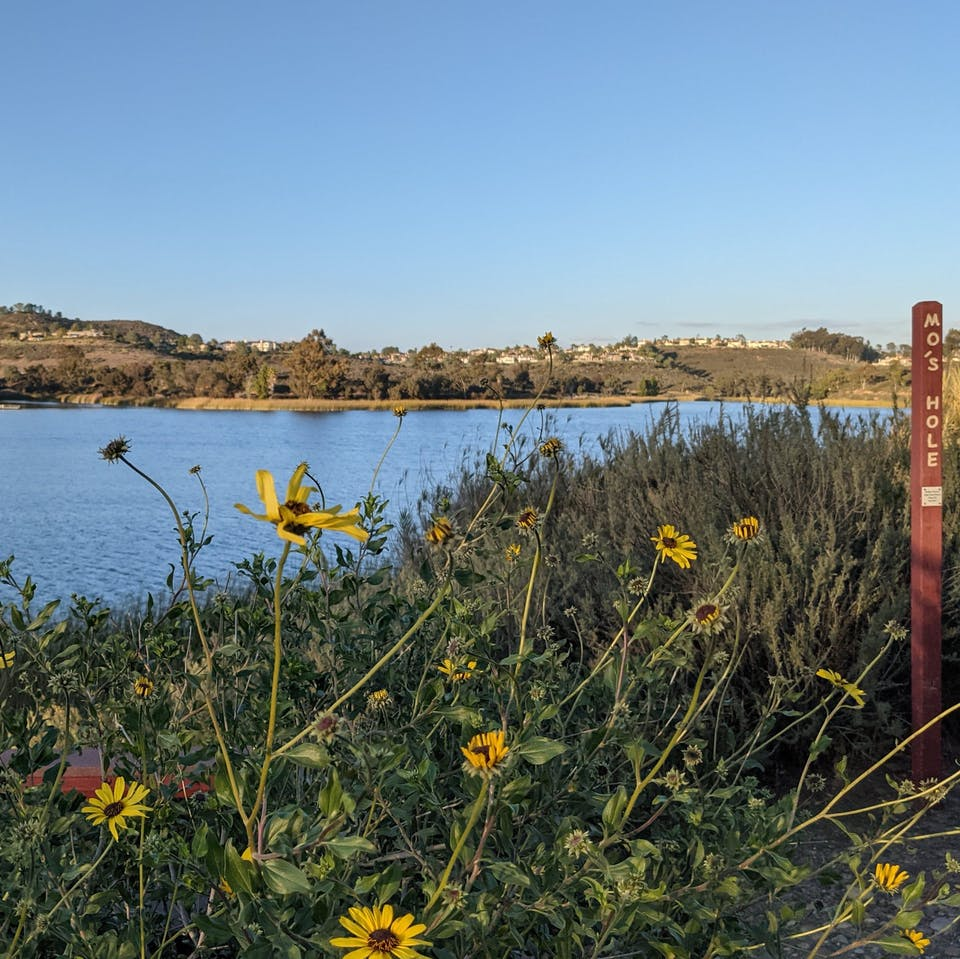 Sunflowers in the foreground of Lake Miramar in San Diego