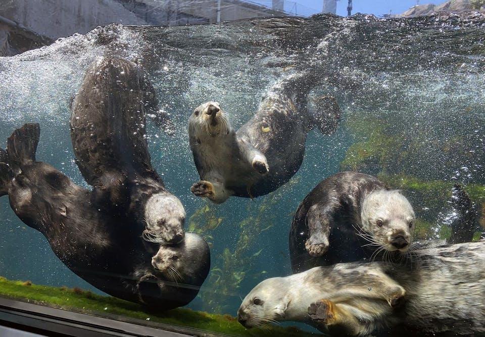 Sea otters at Monterey Bay Aquarium
