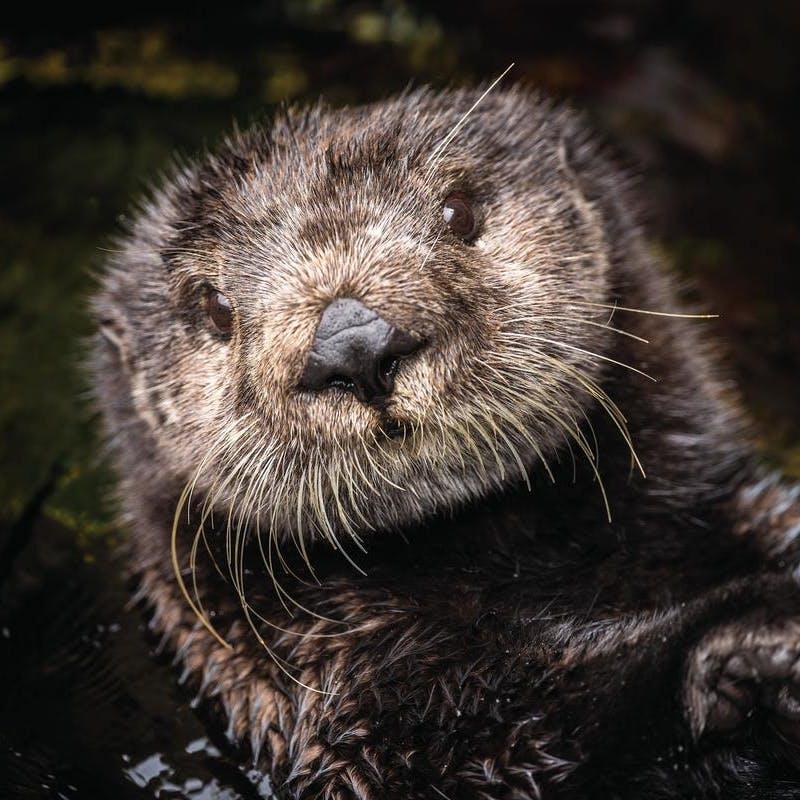 Sea Otter at the Monterey Bay Aquarium