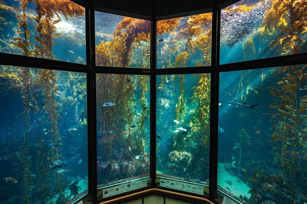 Underwater Kelp Forest at Monterey Bay Aquarium