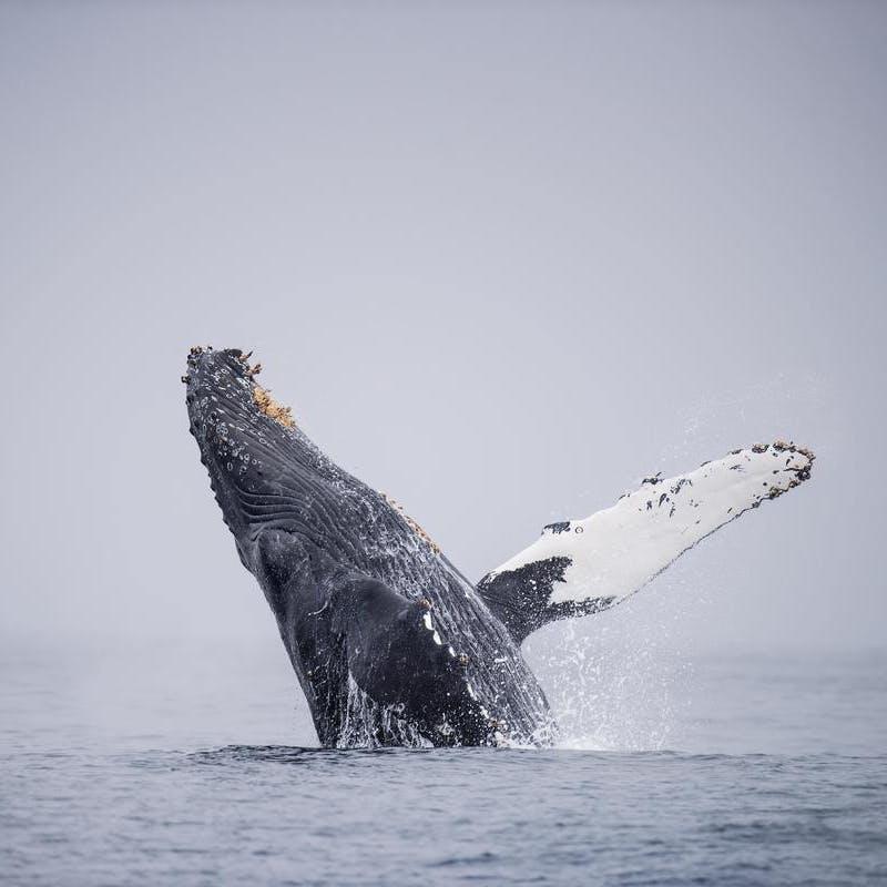 grey whale breaching in Monterey