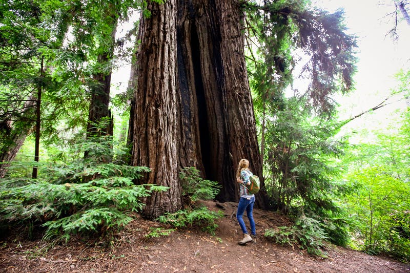 woman hiking by redwood at Samuel P Taylor State Park
