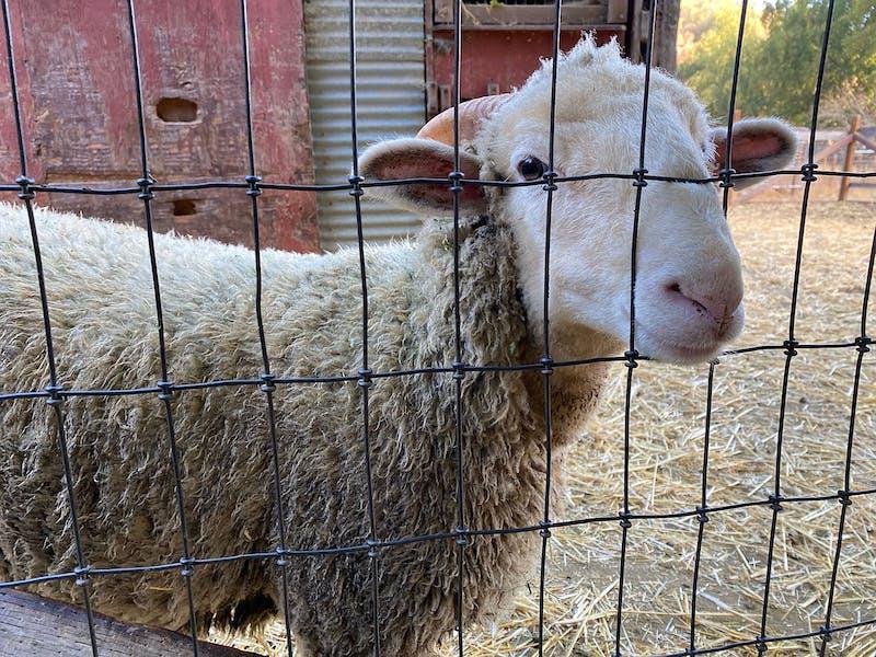 Sheep looking at camera in Hidden Villa Farm