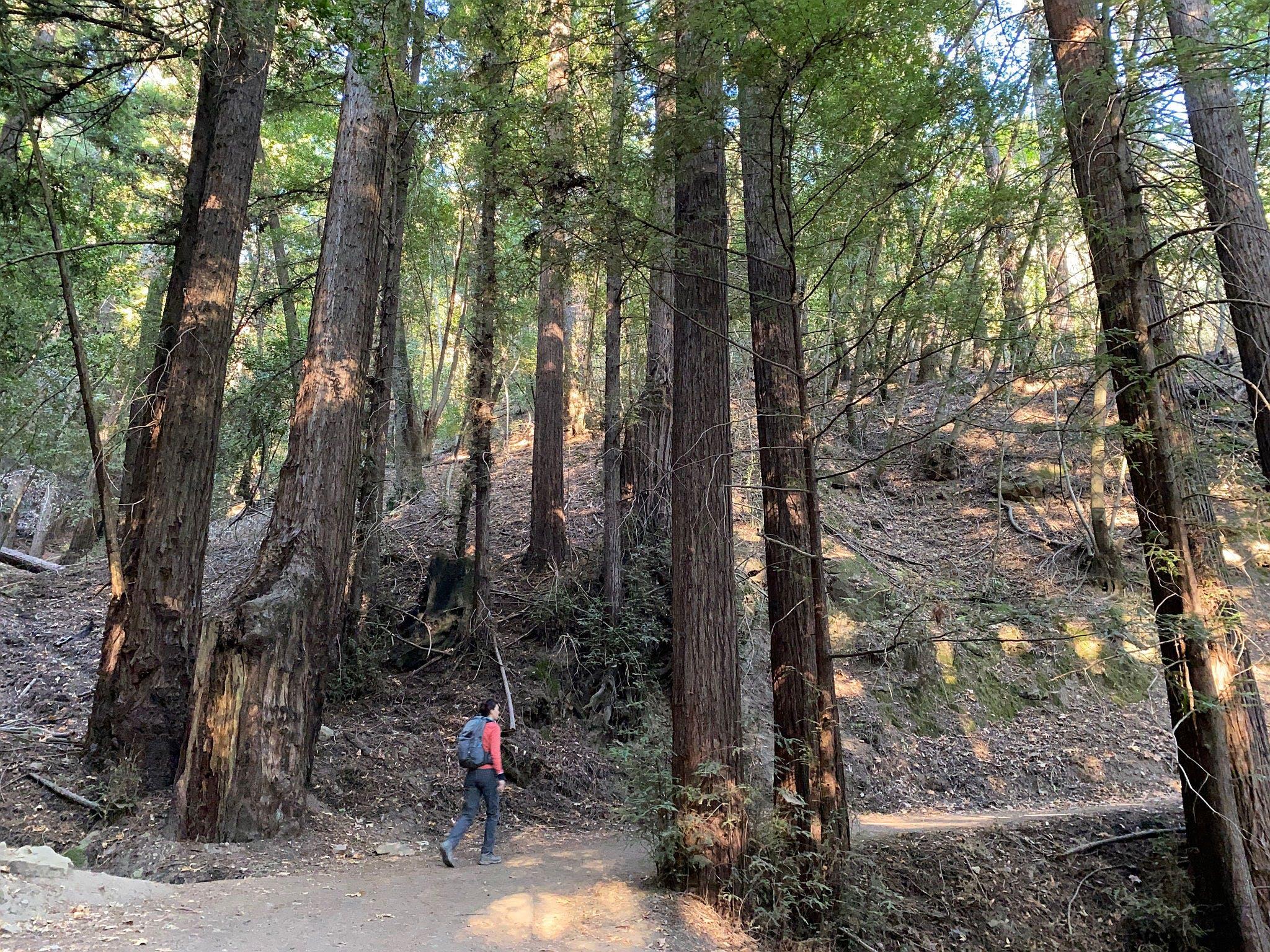 Todd Creek Redwoods Hike at Sanborn County Park
