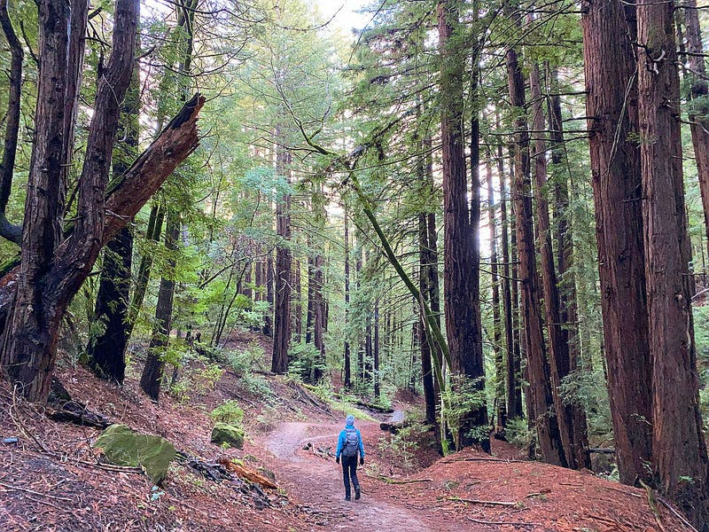 Woman on hiking trail staring up at redwood trees at Thornewood Preserve in Woodside
