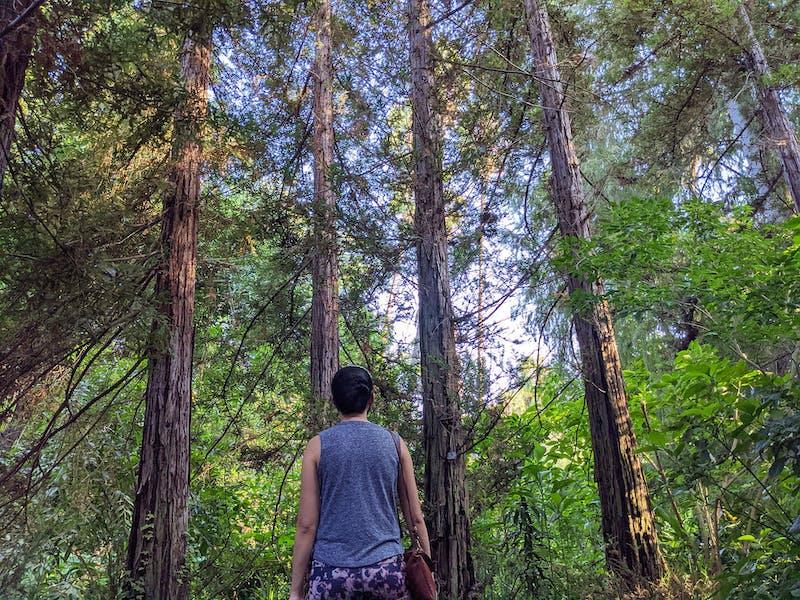Redwoods at Los Angeles Arboretum in Arcadia