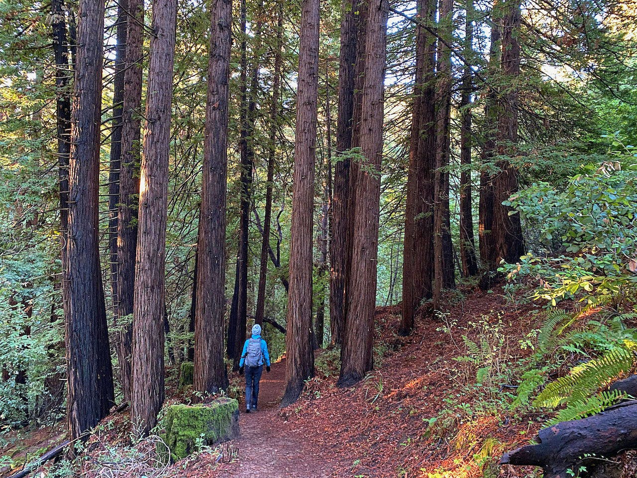 Woman hiking among the redwoods at Thornewood Preserve in Woodside