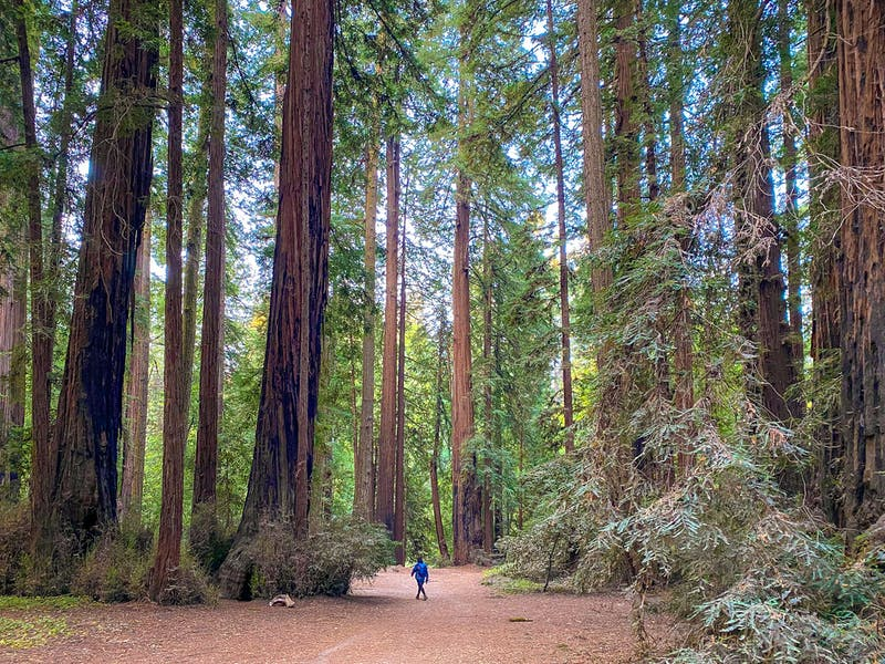 Hike the redwoods at Henry Cowell State Park