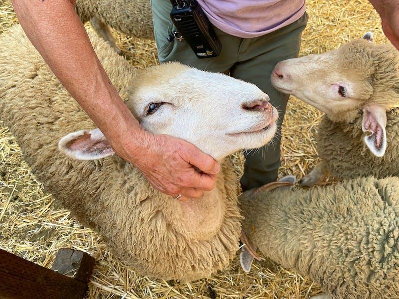 Woman hugging sheep at Hidden Villa Farm in the South Bay