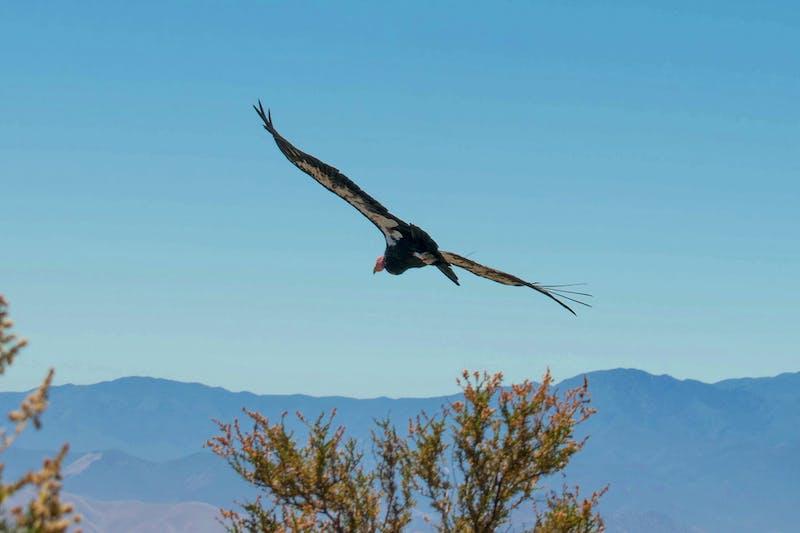 Condor at North Chalone Peak Pinnacles National Park