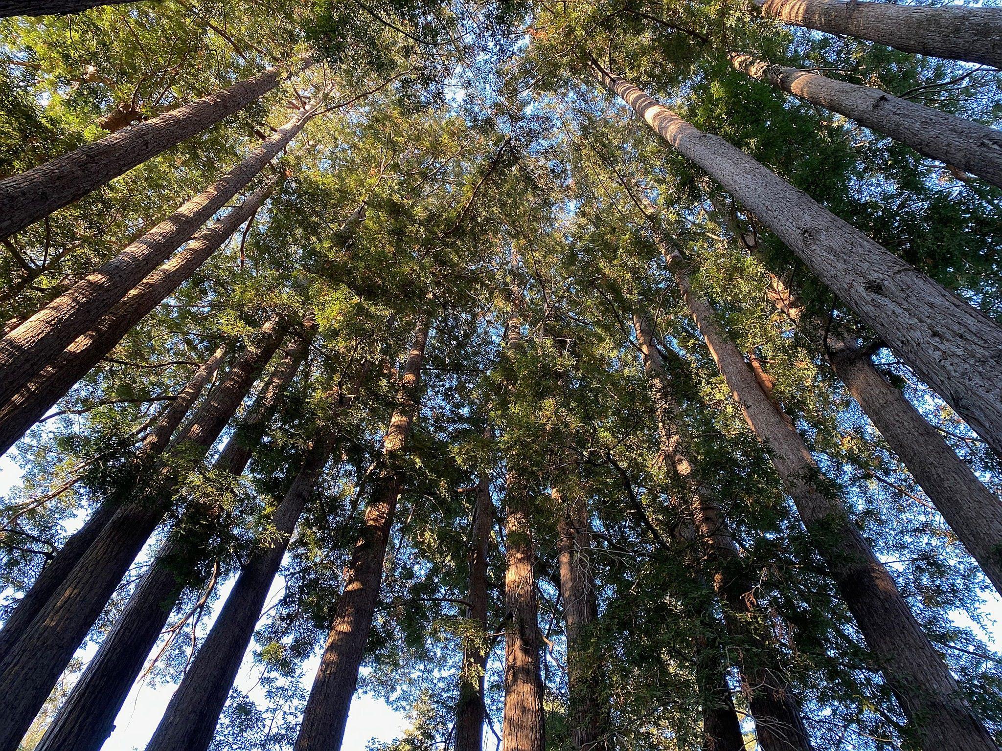 Hike redwoods at Sanborn County Park