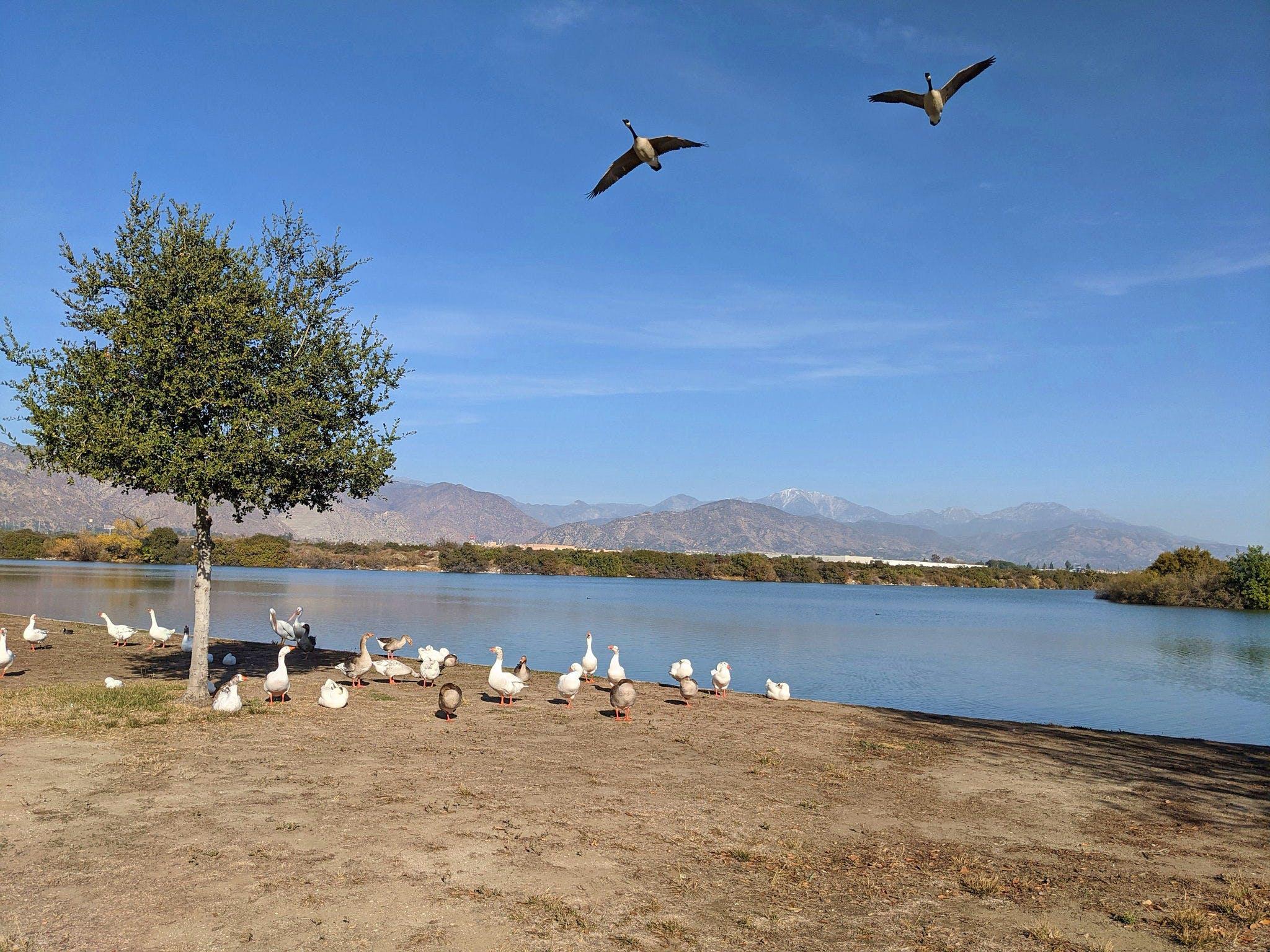 Canada Geese at the shoreline of Santa Fe Dam Recreation Area in Los Angeles County