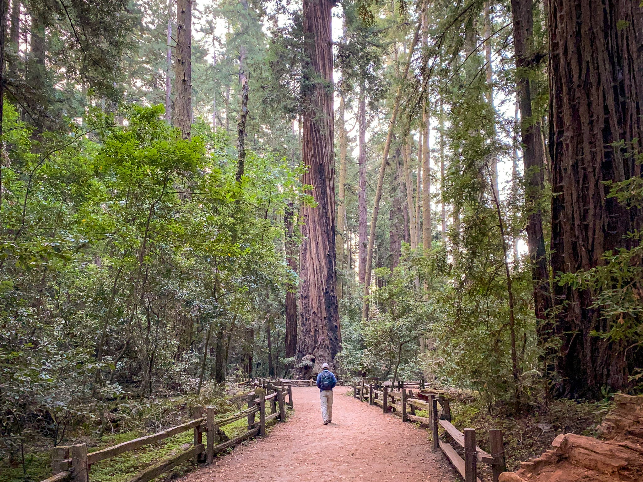 Person standing in the Redwoods Grove at Henry Cowell State Park in the Santa Cruz Mountains