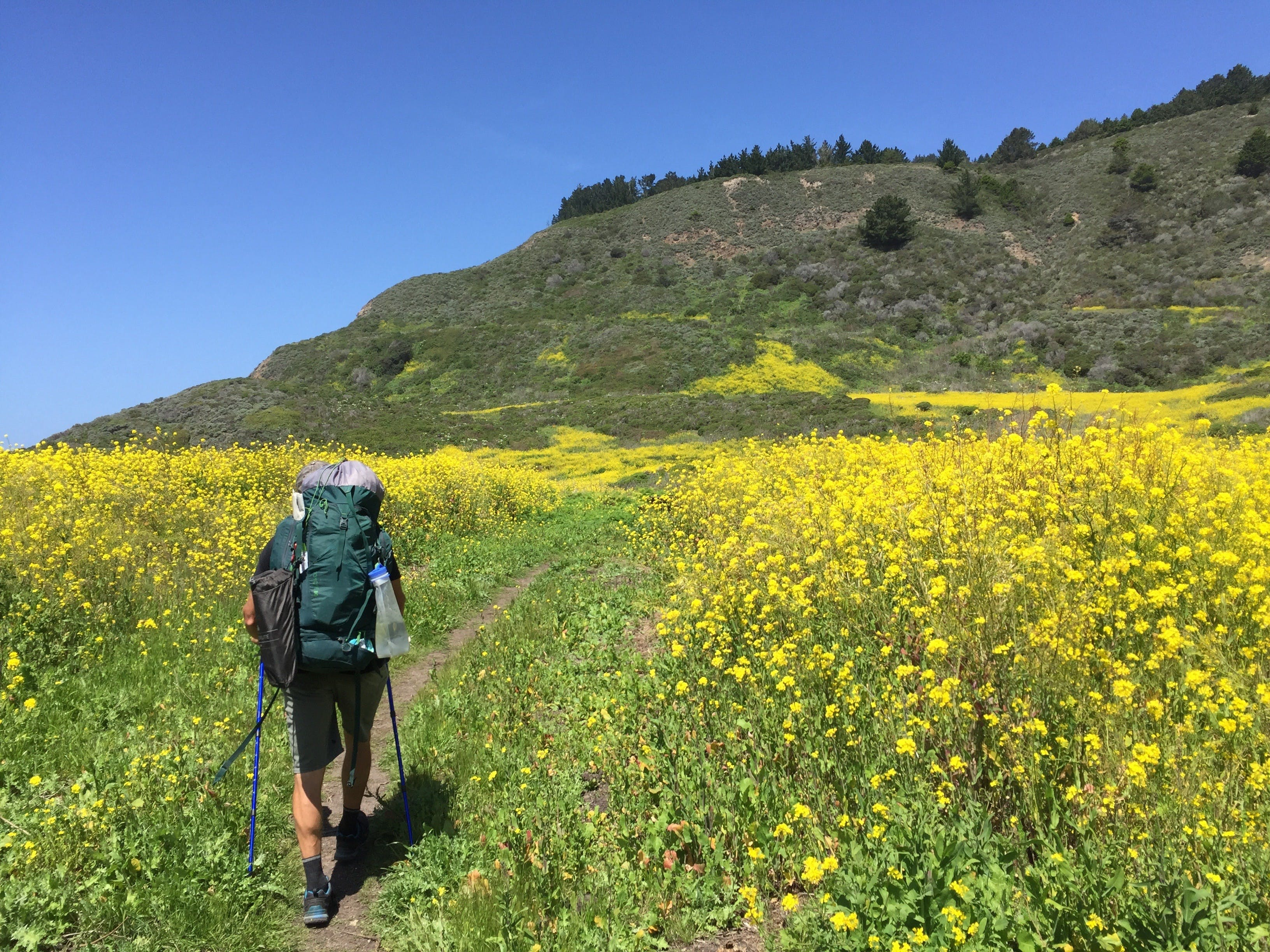 Backpacker hiking on the Coast Trail surrounded by yellow wildflowers in Point Reyes National Seashore