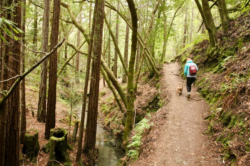 Woman hiking with her dog amid a forest of second growth redwoods and ferns