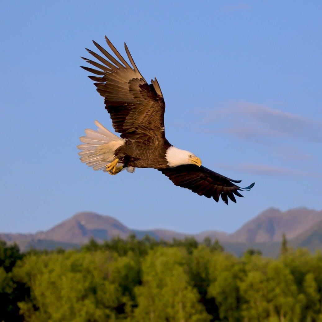 Bald Eagle near Anchorage Alaska
