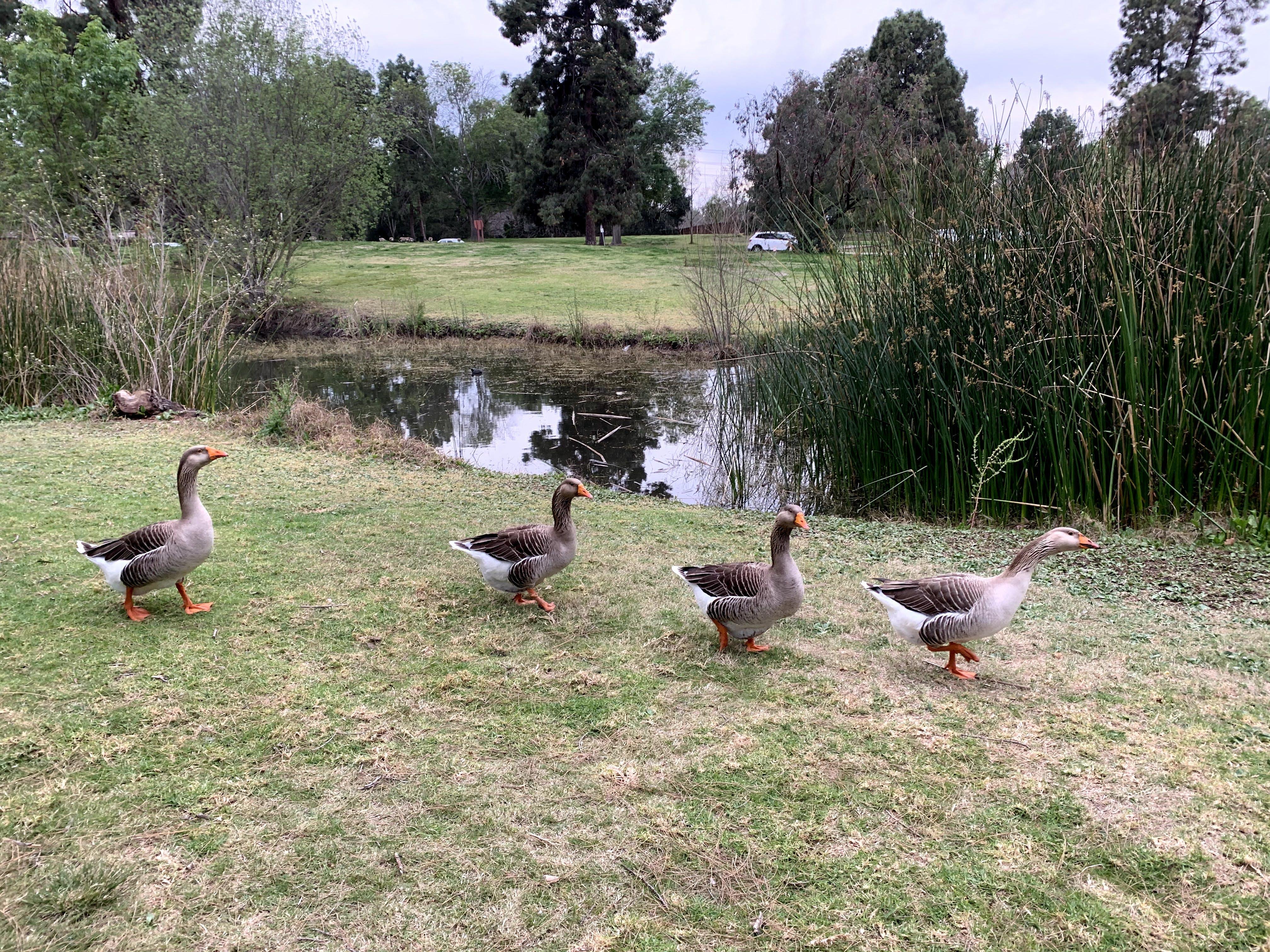 Canada Geese walking in a row beside a lake at El Dorado Regional Park in east Long Beach Los Angeles County