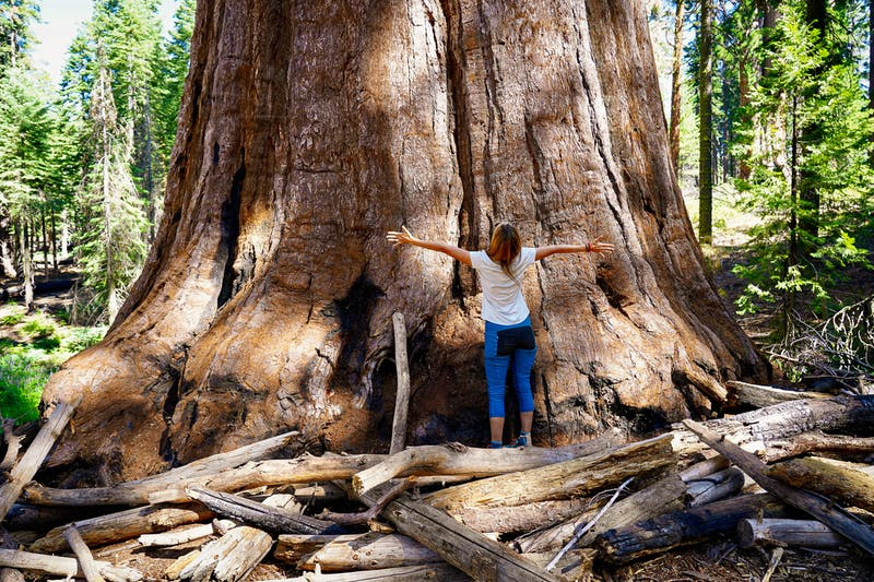 woman looking up at giant sequoia redwood in Mariposa Grove