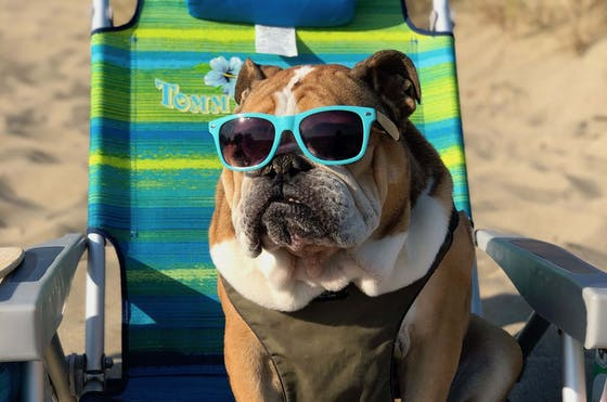 A boxed dog sitting on a deckchair wearing sunglasses