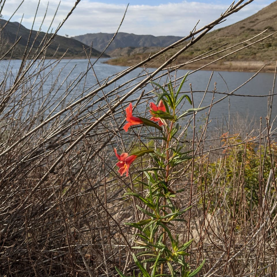 Red flowers in foreground of Lake Hodges in Escondido San Diego County