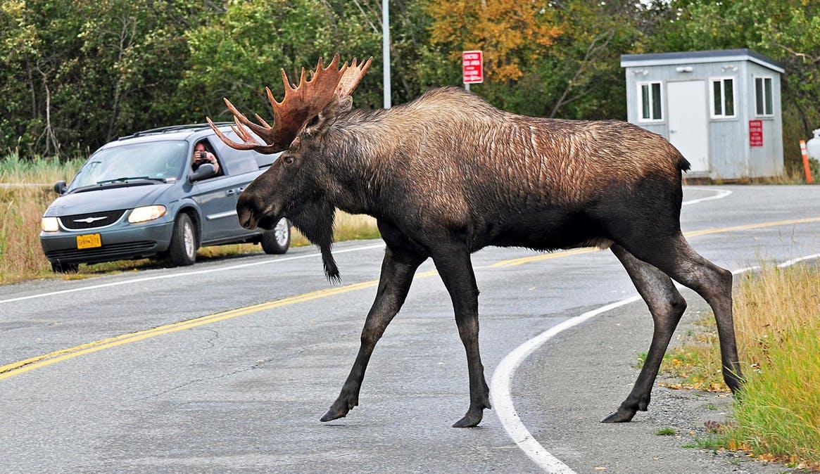 moose crossing street in Anchorage Alaska