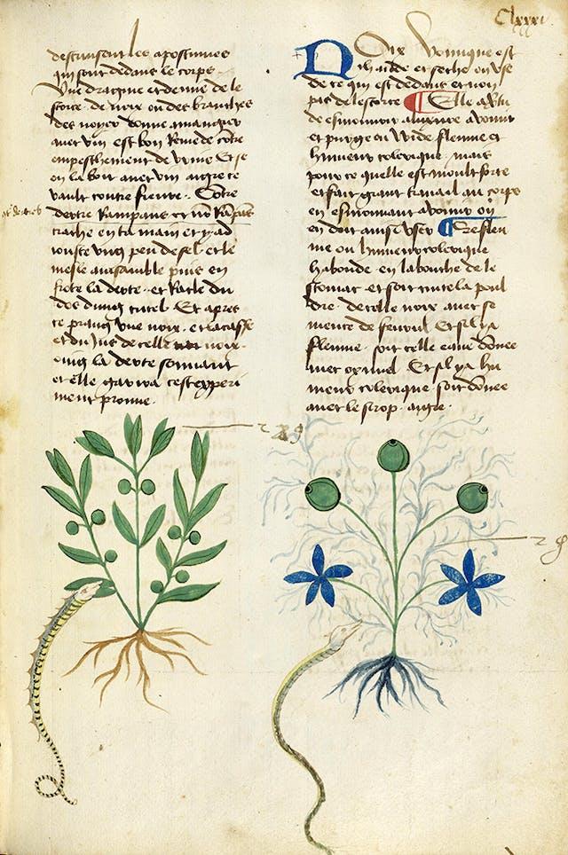 Medieval herbal entry for nux vomica