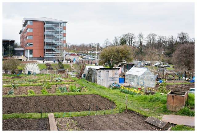 Photograph of an allotment site divided into different plots with grass pathways. In the background there is a large modern building made from red brick and glass to the top left of the image. In the bottom right there is a small rundown shed and a greenhouse, next to which is a small crop of bright yellow daffodils.