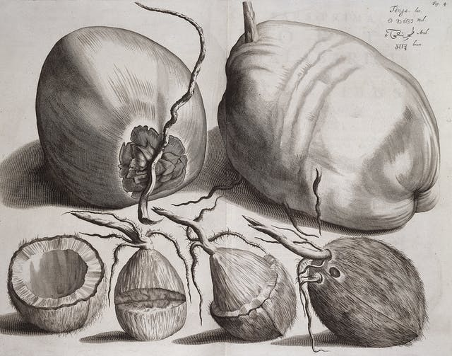 A black and white engraving showing several different views of a coconut.