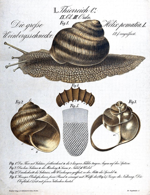 A chromolithograph diagram of an edible snail, with the whole snail above and views of the shell below.