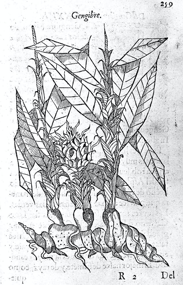 A woodcut print of the ginger plant, from a 16th century medical textbook.