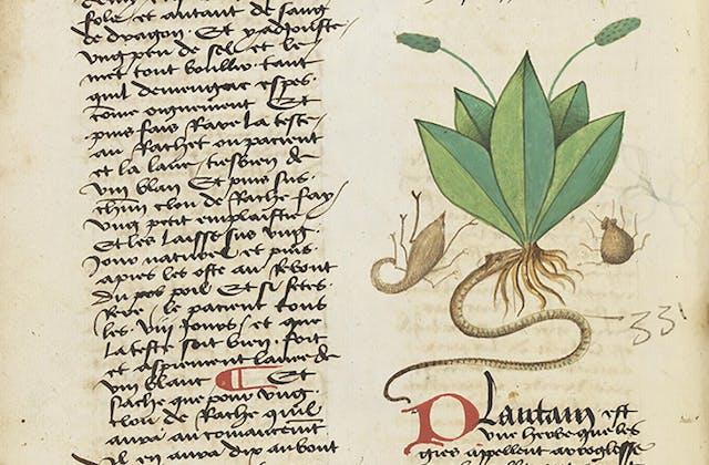 Ribwort plantain (Plentago Minor)