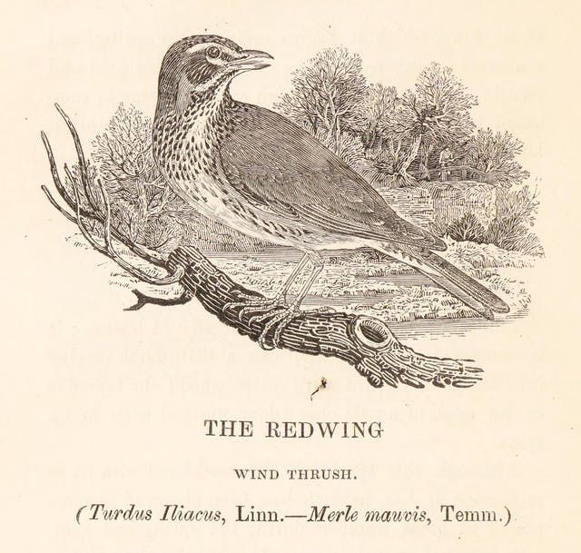 Etching of a Redwing bird standing on a branch and looking to its left. In the background, emerging from some woods in the direction of the bird