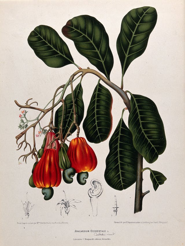 A colour painting of the leaves and fruit of the cashew tree.