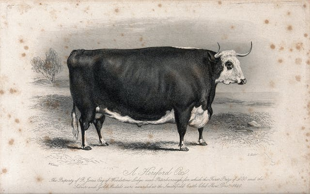 A black and white illustration of a large ox with horns